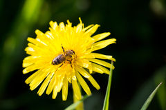 Blooming dandelion flower with bee Stock Photos