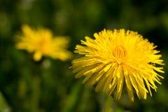Blooming dandelion flower Royalty Free Stock Image