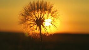 Blooming dandelion flower at sunrise. close-up. Dandelion in the field on the background of a beautiful sunset. fluffy. Blooming dandelion flower at sunrise stock footage