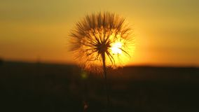 Blooming dandelion flower at sunrise. close-up. Dandelion in the field on the background of a beautiful sunset. fluffy. Blooming dandelion flower at sunrise stock video footage