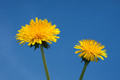Blooming Dandelion flowers. Closeup of two blooming dandelion flowers with blue sky background Stock Photos