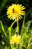 Blooming dandelion flowers with bee Royalty Free Stock Image