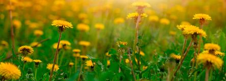 Blooming dandelion flowers. Field banner stock image