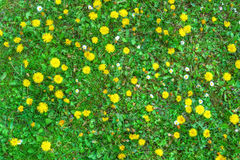 Blooming dandelion flowers and green grass. Texture stock image