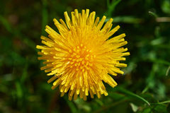 Blooming dandelion. A large yellow dandelion flower on a sunny spring day Royalty Free Stock Photo