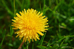Blooming dandelion. A large yellow dandelion flower on a sunny spring day Royalty Free Stock Images