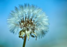 Blooming dandelion in nature against the blue sky royalty free stock photography