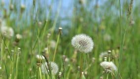 Blooming dandelion summer field flowers. 4K stock footage