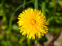 Blooming dandelion Stock Photo