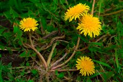 blooming dandelions royalty free stock photos