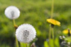 Blooming dandelions Stock Images