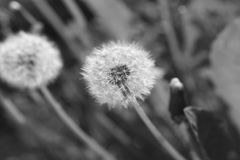 Blooming dandelions Stock Image