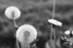 Blooming dandelions Stock Photo