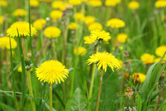 Blooming dandelions Royalty Free Stock Photography