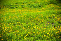 Blooming dandelions and green grass Stock Photo