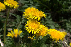 Blooming Dandelions. Group of blooming Dandelions (Taraxacum Officinale / Common Dandelions Royalty Free Stock Photos