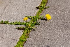Blooming dandelions growing in the crack between the stones on the road. Blooming yellow dandelions and green grass grow in the cracks between the pavement stock images