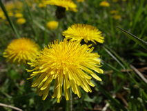 blooming dandelions Stock Photos