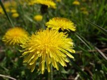 blooming dandelions Stock Photos