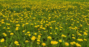 Blooming dandelions meadow Royalty Free Stock Photos