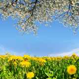 Blooming dandelions Royalty Free Stock Images