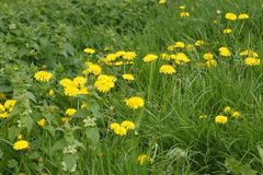 Blooming dandelions plants Royalty Free Stock Image