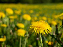 Blooming dandelions Royalty Free Stock Photo