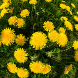 Blooming danelions from a fish eye lens Stock Images