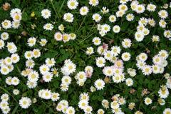 Free Blooming Dasies Royalty Free Stock Photos - 487598
