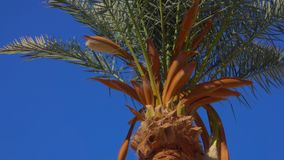Blooming date palm. Against the background of a bright blue sky on a sunny day stock footage
