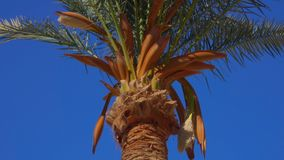 Blooming date palm. Against the background of a bright blue sky on a sunny day stock video footage