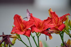 Blooming daylily Stock Photo