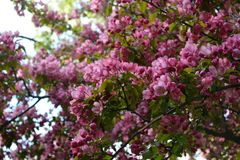 Blooming of decorative apple tree. Malus Niedzwetzkyana. Branches with beautiful pink flowers Royalty Free Stock Photography