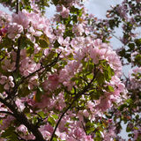 Blooming of decorative apple tree. Malus Niedzwetzkyana. Royalty Free Stock Photos