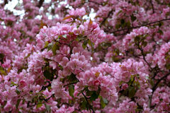 Blooming of decorative apple tree. Malus Niedzwetzkyana. Branches strewn with beautiful pink flowers Royalty Free Stock Images
