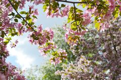 Blooming decorative apple tree. Malus Niedzwetzkyana. Branches with beautiful pink flowers. royalty free stock photography