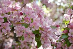Blooming decorative apple tree. Pink flowers in spring day.  stock photo