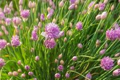 Blooming decorative onion. At spring season Stock Photos