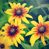 Blooming decorative sunflowers Royalty Free Stock Images