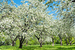Blooming of decorative white apple trees Stock Photography