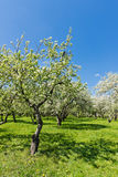 Blooming of decorative white apple trees Stock Photo