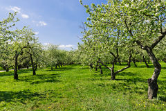 Blooming of decorative white apple trees Royalty Free Stock Photos