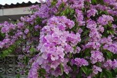Blooming& x28 della vite dell'aglio; fotografia stock libera da diritti