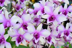 Blooming of Dendrobium Orchids. The Dendrobium orchids are blooming royalty free stock photography