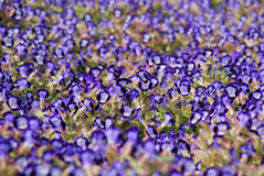 Blooming dense flower bed of blue flowers Royalty Free Stock Photo