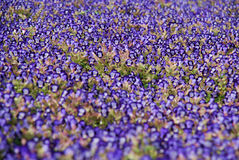 Blooming dense flowerbed of blue flowers Stock Photography