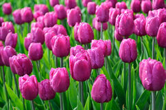 Blooming dense flowerbed of purple tulips Stock Photos