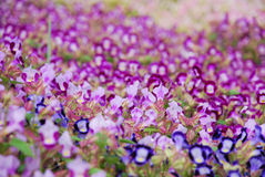 Blooming dense flowerbed of small purple flowers Royalty Free Stock Photography