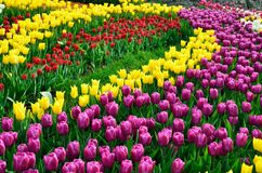 Blooming dense flowerbed of various tulips Royalty Free Stock Photo