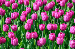 Blooming dense flowerbed of wet pink tulips Stock Photo